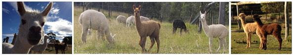 Cover Alpacas